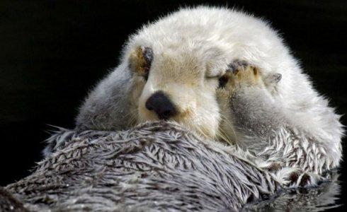 水獭双爪捂眼露超萌表情熊猫表情包摊手图片