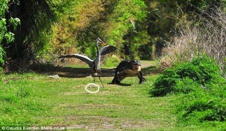 鹭鸟偷袭鳄鱼仔 美动物园上演母鳄护子大战(图)