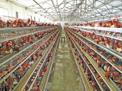 养殖大户损失惨重 鸡鸭养殖险却近乎零投保