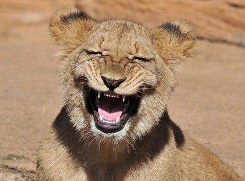 """动物园的一头狮子猛回头朝摄影师""""大笑"""",露出锋利牙齿."""