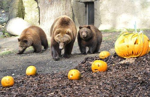 万圣节南瓜难倒德国棕熊图片
