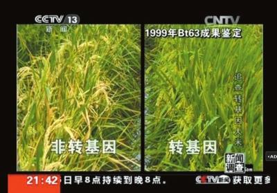 央视揭大米现状 随机5袋米3种含转基因成分