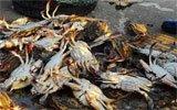 揭秘赚钱的养蟹生意