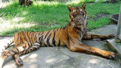 印尼一动物园环境恶劣 100公斤老虎瘦成猫(图)