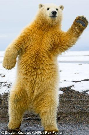 语言北极熊学跳舞失晃动平衡猴子似卖空(年幼)屁股v语言小组图站立气图片