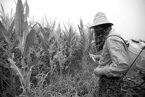北方逾千万亩玉米爆发虫灾 商家被指哄抬药价