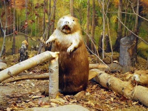 加拿大动物国宝海狸怎么画