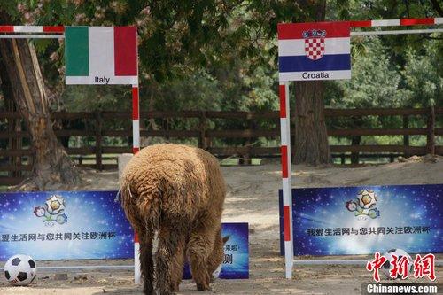 """2012年6月13日,天津市动物园,""""神兽""""羊驼预测欧洲杯已经取得了两"""