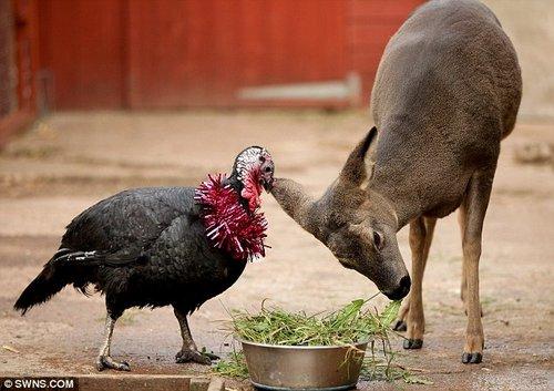 """英动物园""""跨界情侣""""--火鸡与小鹿一见钟情形影不离"""