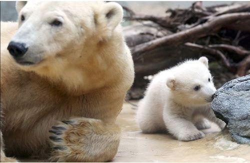 """由于这个北极熊""""家族""""近年来不断遭遇亲人离世,因此动物园管理员和"""