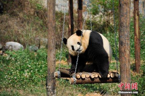 云南野生动物园为情绪低落熊猫装电视