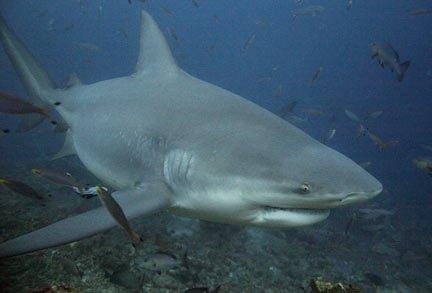 研究称公牛鲨在各类鲨鱼中咬合力最强(图)_财经_腾讯网