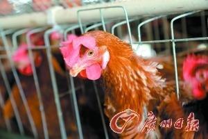 粤禽类养殖险投保率低 禽流感尚未列入理赔范围