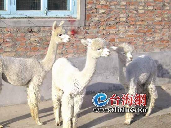 三只呆萌羊驼抵达厦门 将入住海沧野生动物园