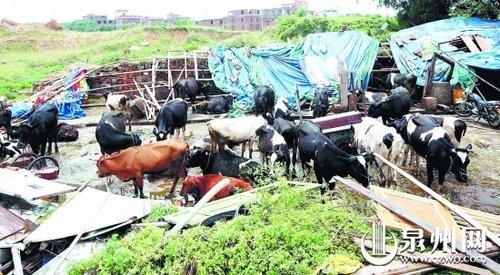 牛棚倒塌20多头牛受伤 主人救牛躲过一劫(图)