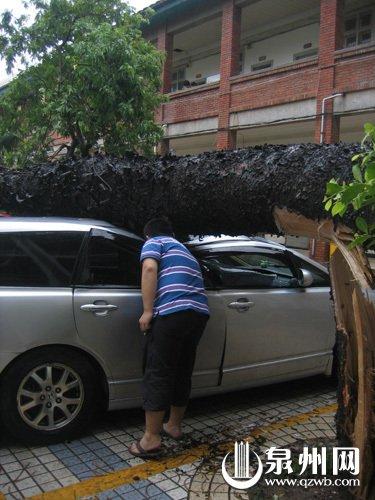 泉州:大树不堪狂风肆虐 被吹倒压扁七车(图)