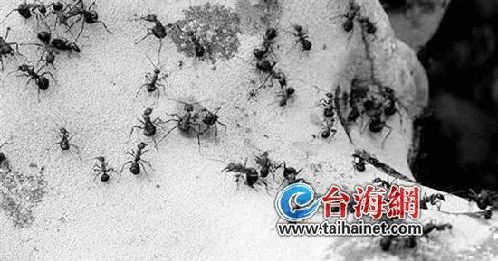 蚂蚁咬伤数十村民 或是环境变化引发蚂蚁变异