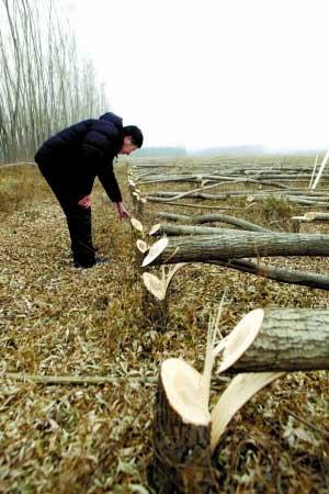 近百人强伐6万棵树 疑与开发商征地有关(图)