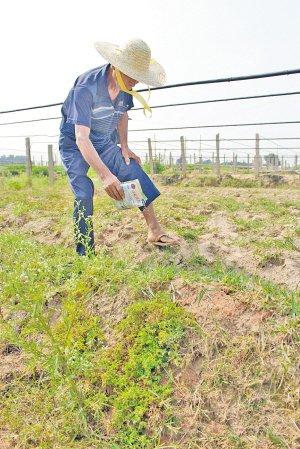 厦门翔安垵山社区 红火蚁肆虐20多村民被咬伤
