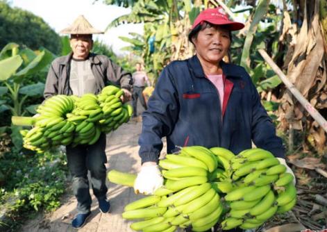 漳州天宝:横槊两千多年的国际香蕉帮