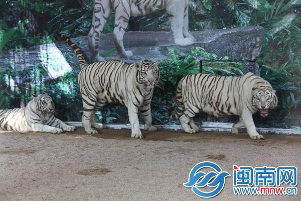 漳州市动物园的饲养员说,白虎和普通老虎的饲喂没有太大的区别,平时