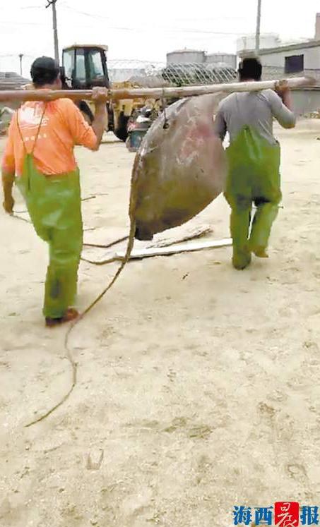 渔民捕秉90多斤魔鬼鱼 当天以壹斤9元将鱼卖出产