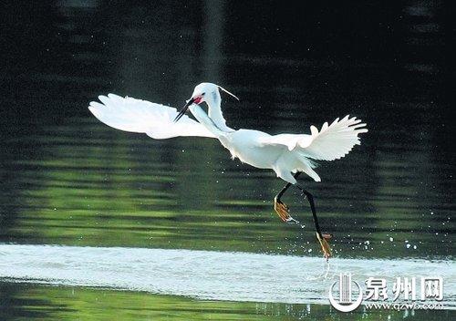 三十余种鸟安家泉州西湖公园(图)