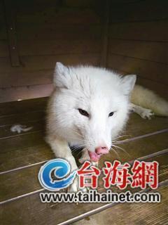 厦门高崎机场T4候机楼附近惊现一只小白狐