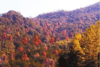 龙岩连城冬日里的山野诗意:霜叶红于二月花
