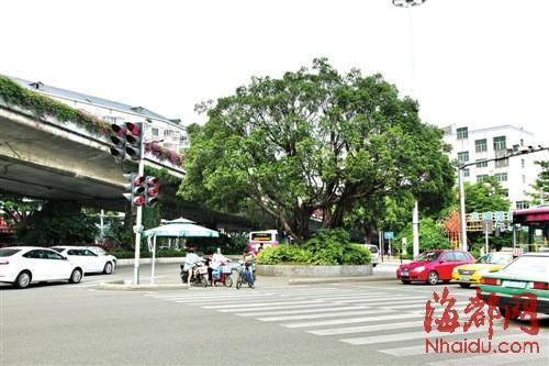 """福州部分安全岛计划植榕树 为行人撑起""""榕伞"""""""