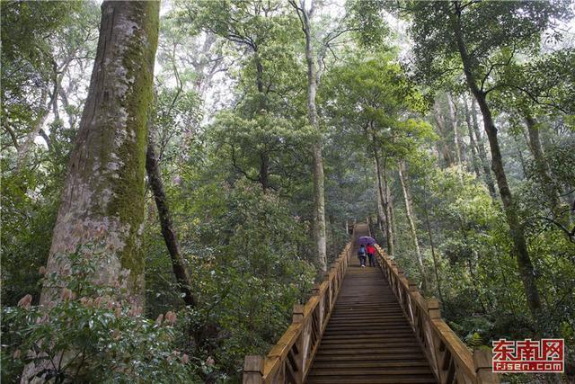 穿越千年红豆杉古树群 领略原始森林谧境