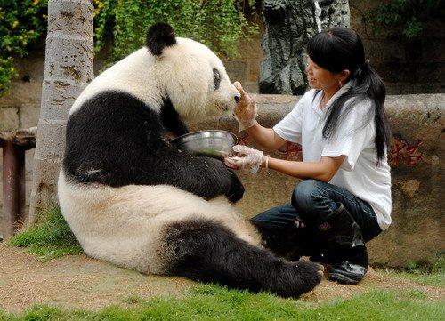 """熊猫""""盼盼""""原型""""巴斯""""全面恢复健康"""