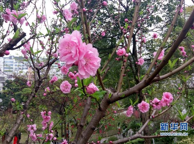 福州乌石山花会:2000多株花树争奇斗艳