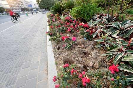 福州二环路省体中心绿化带 刚种鲜花被盗千株