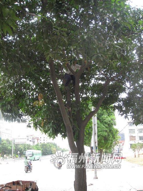 """百米路段七八伙人忙""""丰收""""芒果 树下人来车往"""