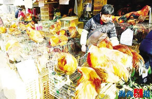 厦门进入禽流感高发季 市民要避免直接接触活禽