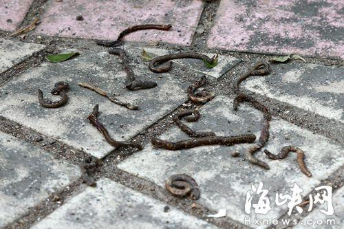 金冠花园小区内,大量蚯蚓钻出泥土后死亡