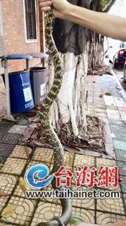 1.6米长王锦蛇贪凉溜进厦门市规划馆 吓坏保安