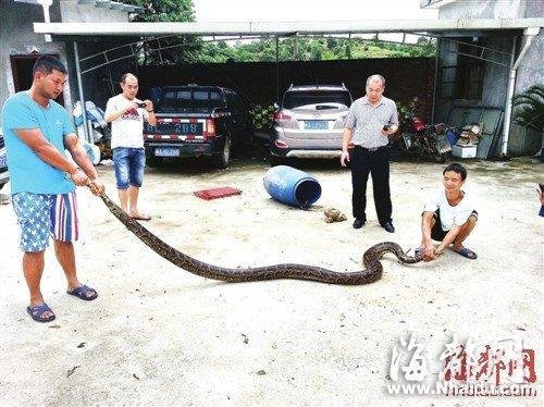 4米巨蟒潜进养猪场产蛋 巨蟒窜出房门吓坏工人