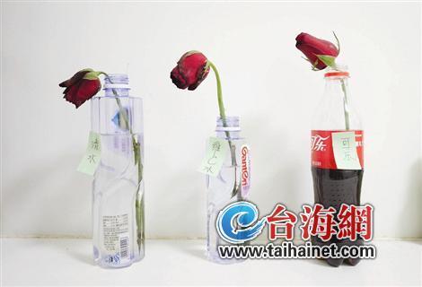 """网传""""喝""""可乐让玫瑰开更久 实验:一周仍鲜艳"""