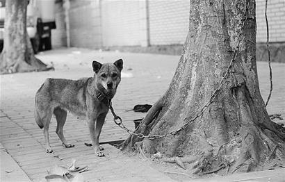 集美某街道人行道上拴了一条狗吓怕过往行人