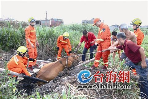 同安一母牛陷泥塘难以自拔 消防村民携手救出