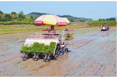 福建浦城机插万亩再生稻