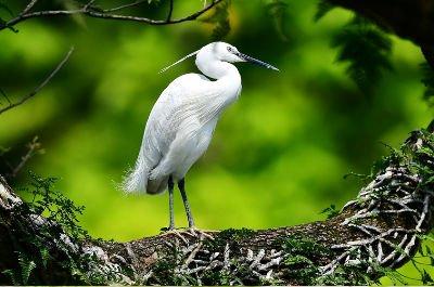 翠鸟池鹭白鹭鹊鸲 众多春鸟在福州西湖公园流连