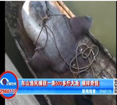 漳州渔民捕获600多斤大鱼 像个大肉球