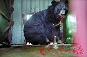"""多国对""""活熊取胆""""说不 韩每年150头熊抽胆死"""