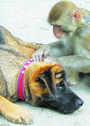 一只猴子挠痒痒简笔画-东坪山一猴一狗 兄弟 情深 受伤猴子被人收养