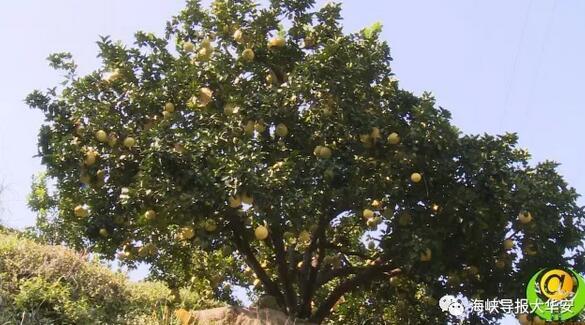 惊人!漳州这棵柚子树竟长出500多颗柚子