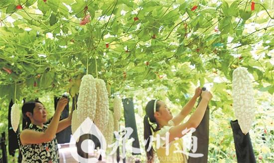 """台湾""""白玉苦瓜""""在泉州首次成功引种上市"""