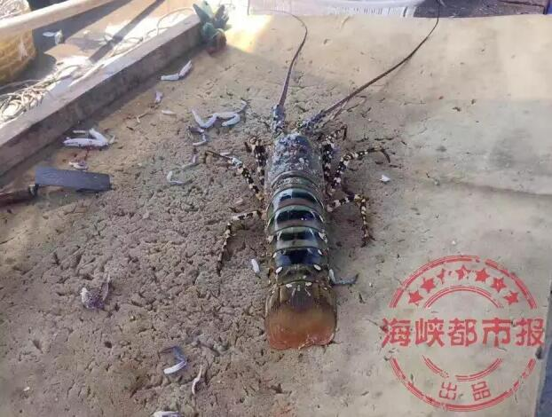 """福建渔民捕获七彩""""神虾""""跟10岁小孩一般高"""